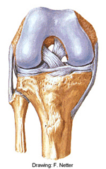 Netter's Knee Anatomy